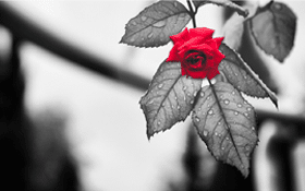 rose-spuvenir