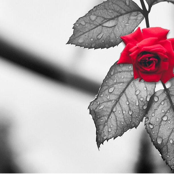souvenir-rose